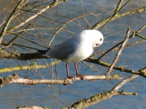 72 14 Mouette rieuse