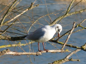 72 16 Mouette rieuse