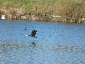 72 27 Grand cormoran