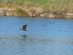 72 28 Grand cormoran