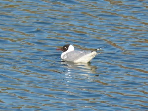 72 31 Mouette rieuse
