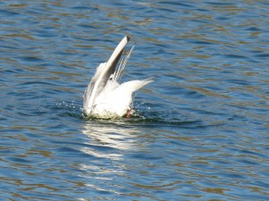 72 34 Mouette rieuse