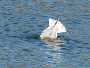 72 36 Mouette rieuse