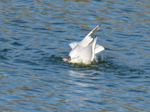 72 37 Mouette rieuse
