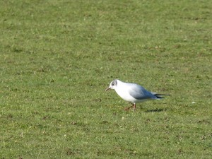 72 49 Mouette rieuse