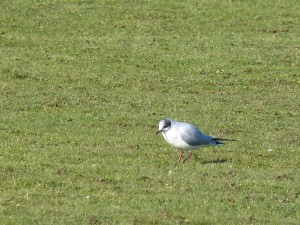 72 50 Mouette rieuse
