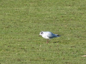 72 52 Mouette rieuse