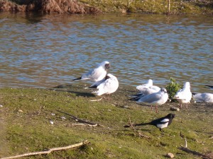 72 66 Mouettes rieuses