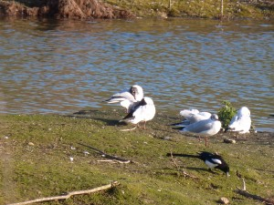 72 67 Mouettes rieuses