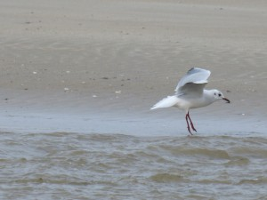 76 2 39 Mouette rieuse