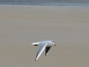 76 2 41 Mouette rieuse