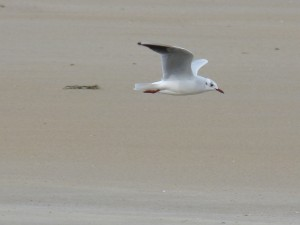 76 2 42 Mouette rieuse