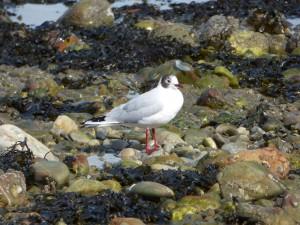 78.2 02 Mouette rieuse
