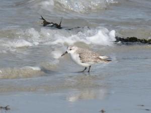 78.2 70 Bécasseau sanderling