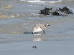 78.2 71 Bécasseau sanderling