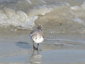 78.2 73 Bécasseau sanderling