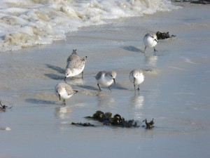 78.2 74 Bécasseaux sanderlings