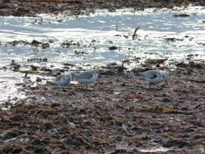 78.3 44 Bécasseaux sanderlings