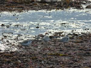 78.3 45 Bécasseaux sanderlings