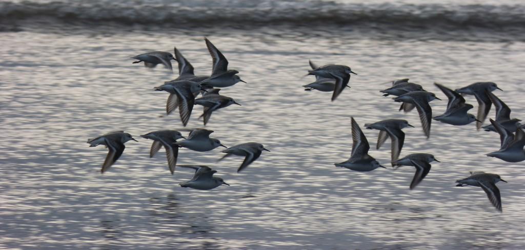 78.3 48 Bécasseaux sanderlings