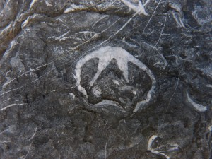 79.3 41 Schistes et calcaire de l'armorique Brachiopodes
