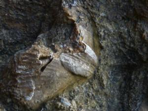 79.3 54 Brachiopode