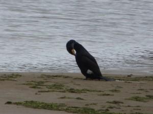80 04 Grand cormoran