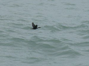 80 33 Grand cormoran