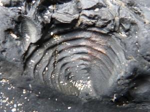 80 51 Trilobite
