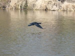 84.1 38 Grand cormoran