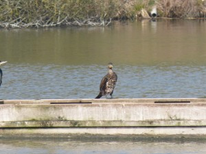 84.1 40 Grand cormoran
