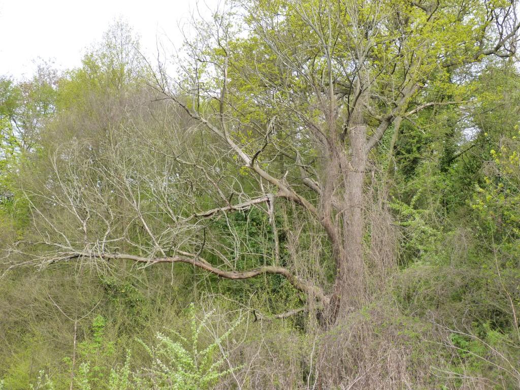 90-01-un-vieil-arbre