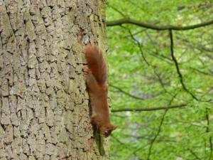 90-04-un-ecureuil-roux