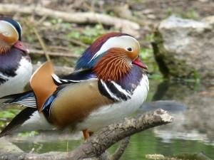 90-23-canard-mandarin-male