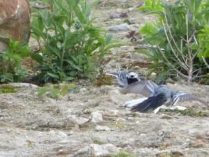 92-43-bergeronnettes-grises