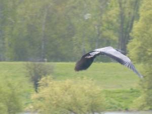 93-23-heron-cendre