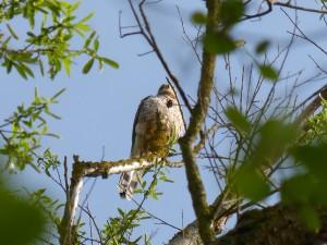 94-1-63-faucon-crecerelle