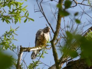 94-1-65-faucon-crecerelle