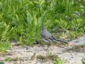 94-2-13-bergeronnette-grise-juvenile