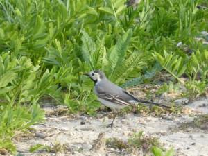94-2-14-bergeronnette-grise-juvenile