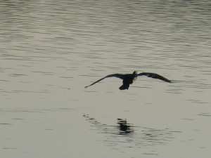 95-117-grand-cormoran