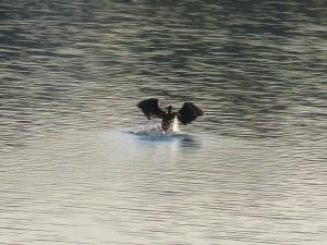 95-120-grand-cormoran