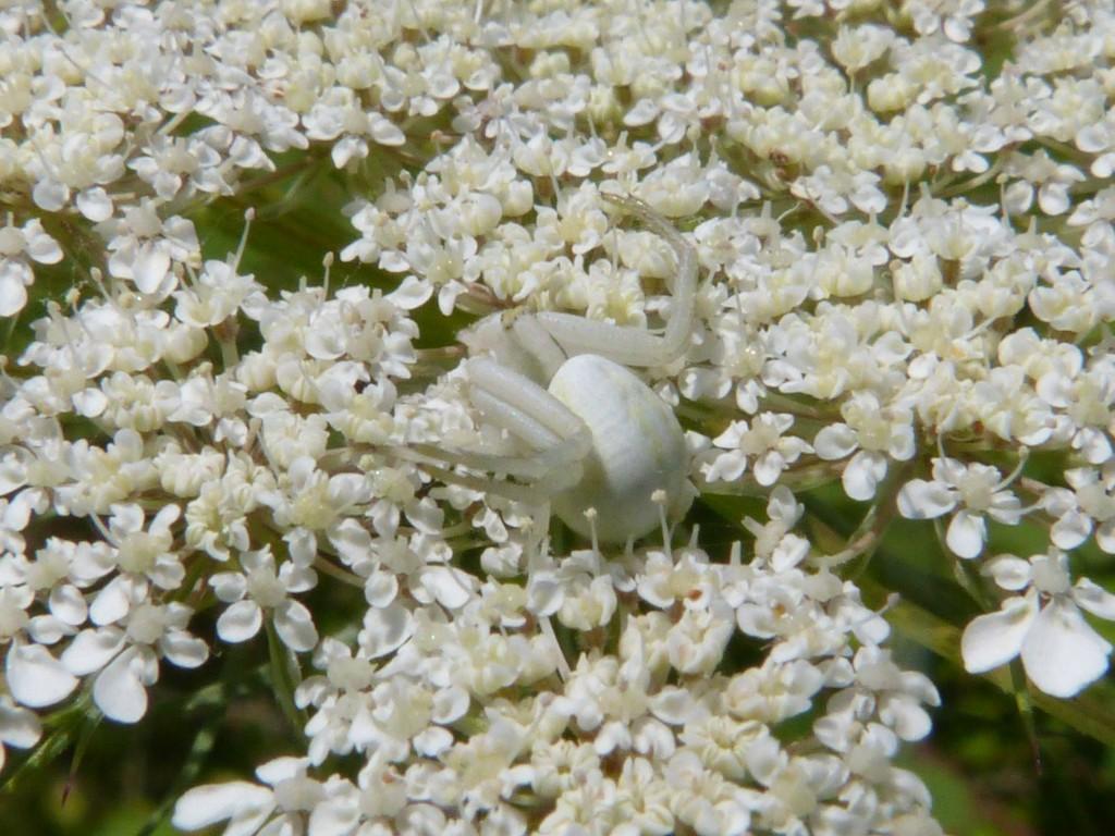 99-02-une-araignee-crabe