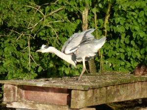 100-76-le-reveil-du-heron