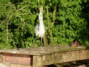 100-80-le-reveil-du-heron