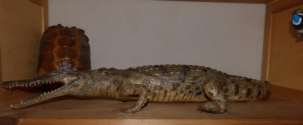 101 11 Le crocodile