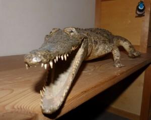 101 12 Le crocodile