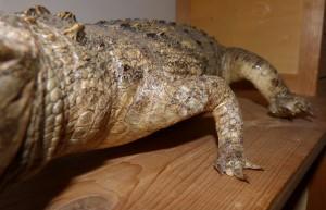 101 13 Le crocodile