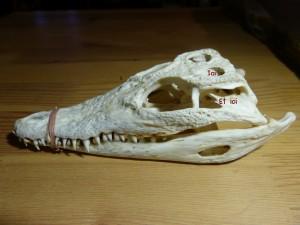 101 14 Le crâne de crocodile