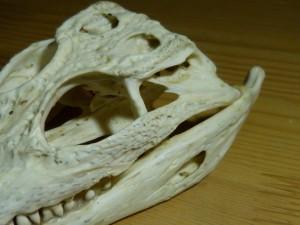 101 15 Le crâne de crocodile